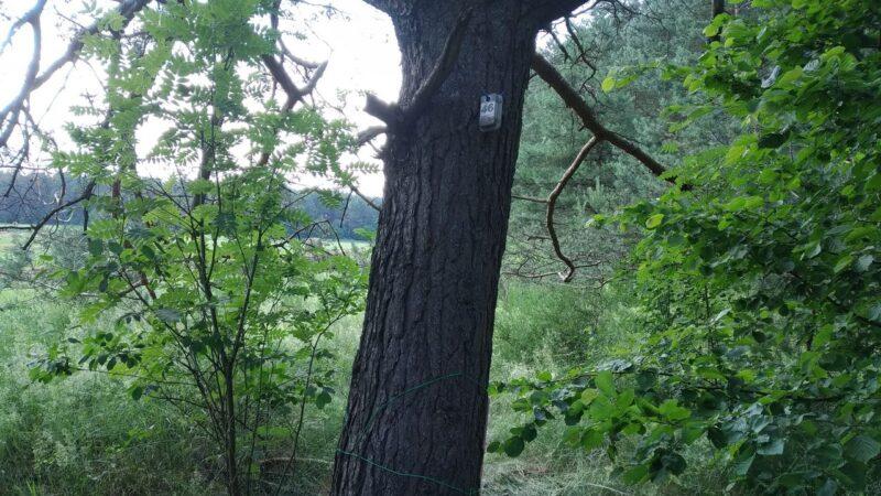 КП 46. Кривая сосна на краю леса